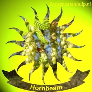 Hornbeam Bach Bloesem Remedies