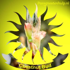 Chestnut Bud Bach Bloesem Remedies