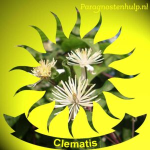 Clematis Bach Bloesem Remedies
