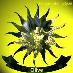 Olive Bach Bloesem Remedies