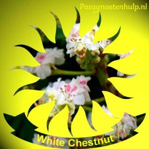 White Chestnut Bach Bloesem Remedies