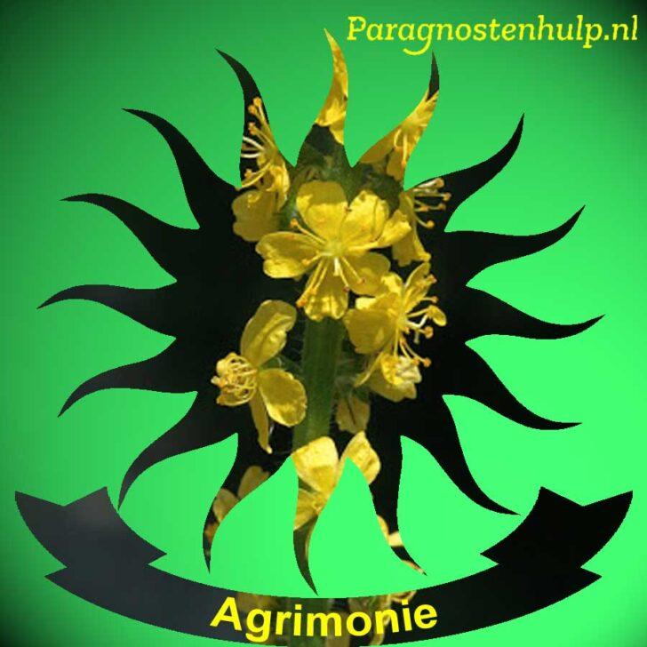 Agrimonie 01